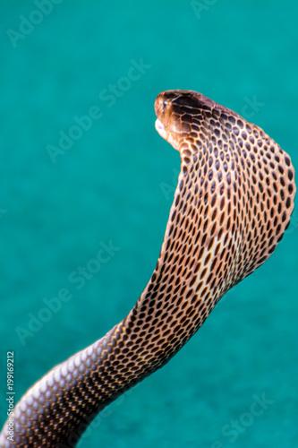 King Cobra (Ophiophagus hannah) The world's longest venomous snake Poster