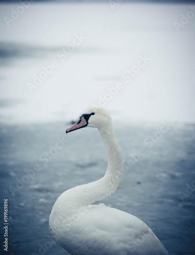 Staande foto Zwaan Beautiful white swan portrait on the icy lake in the winter