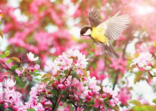 Naklejka premium słodka sikorka leci machając skrzydłami do kwitnącej wiosny gałęzi jabłoni w maju