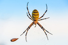 Female Spider Of Argiope Bruen...