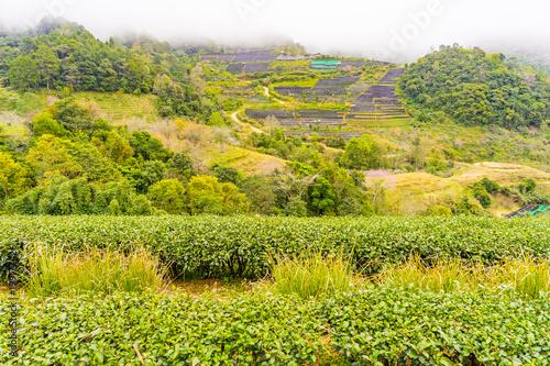 Foto op Canvas Pistache Green tea plantation farm landscape hill cultivation