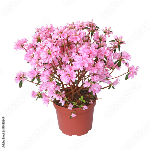 Deurstickers Azalea Azalée japonaise rose en pot