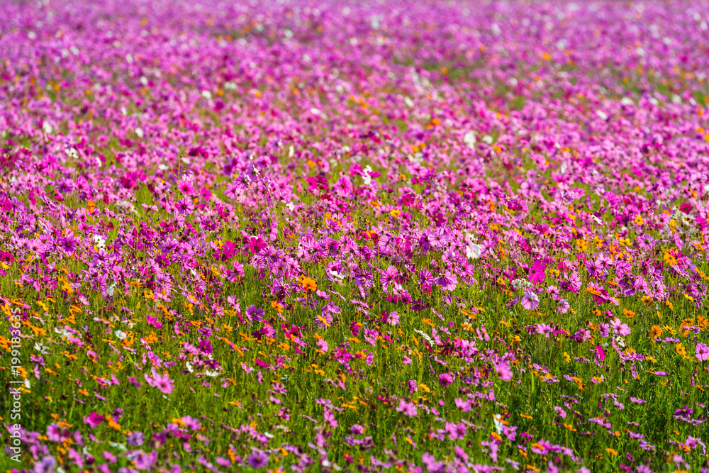 colorful cosmos flowers planted in a large fields on the hill. cosmos flowers .are blooming in winter
