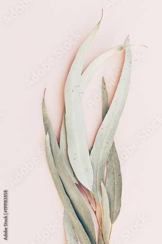 Αφίσα  Botanical print, eucalyptus leaves closeup pink paper background