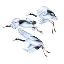 Flying Japanese Cranes Isolated On White Background. Red-crowned Crane. Flying Birds. Watercolor. Illustration. Template
