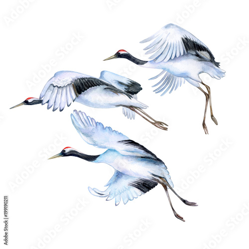 Flying Japanese Cranes Isolated On White Background Red Crowned
