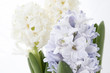 Flowers composition with lilac and white hyacinths. Spring flowers on white background. Easter concept.