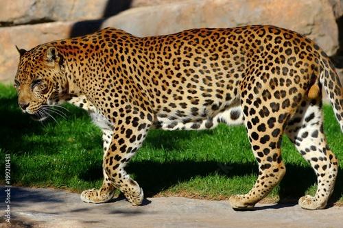 Deurstickers Luipaard leopardo