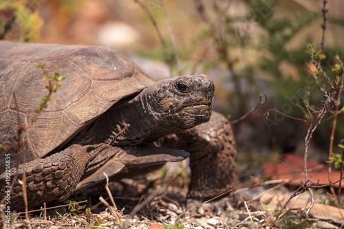 Florida Gopher Tortoise Gopherus polyphemus Canvas Print