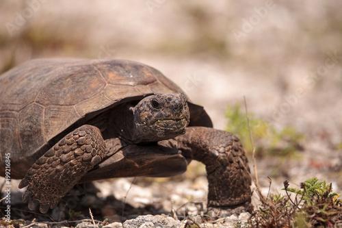 Florida Gopher Tortoise Gopherus polyphemus Wallpaper Mural