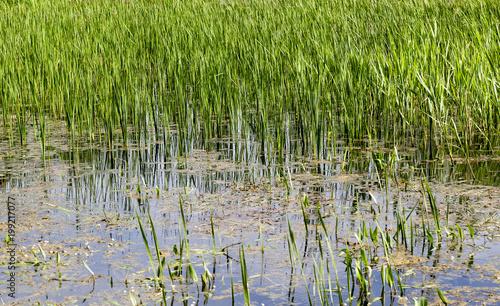 Fotografie, Obraz  swamp grass spring