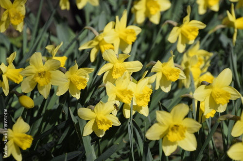In de dag Narcis Spring flowering bulb plants in the flowerbed. Flowers daffodil yellow
