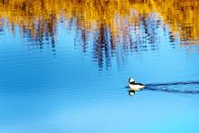 Bufflehead Duck Swimming In Th...