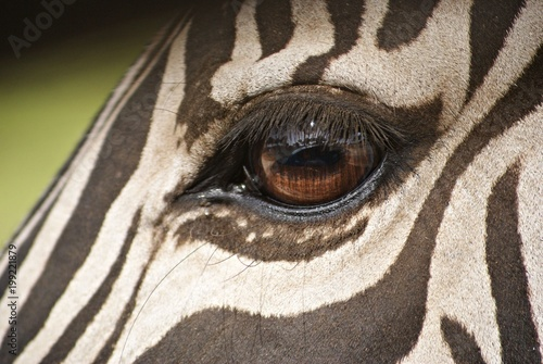 Photo Detalle del ojo de una cebra adulta