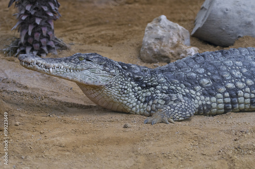 Foto op Plexiglas Krokodil Cocodrilo del Nilo