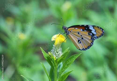 butterfly, insect, nature, flower, macro, monarch, green