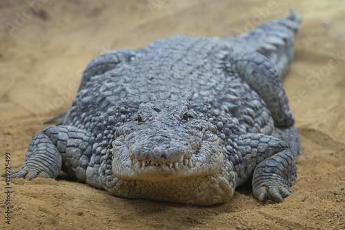 Foto op Plexiglas Krokodil Cocodrilo del Nilo macho descansando en la arena