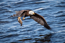 Bald Eagle Snatching A Fish Fr...