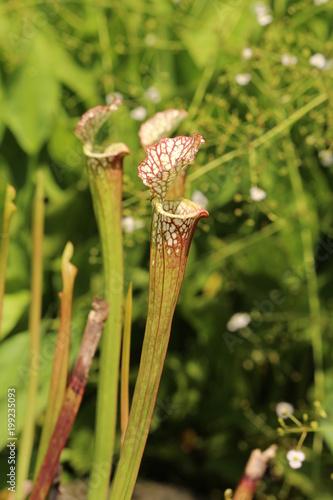 Fotografía  食虫植物(サラセニアレウコフィラ)