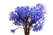 Spring Blue Flowers Isolated