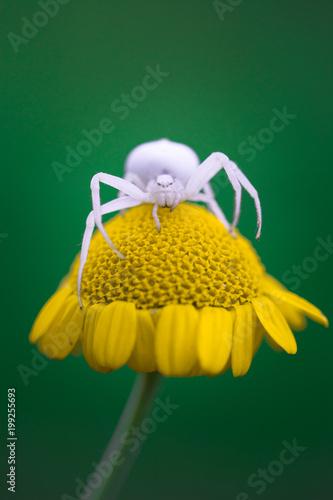 Ragno granchio su fiore