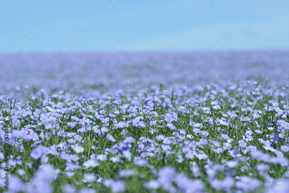 Fototapety, obrazy: Flax field blooming, flax agricultural cultivation.