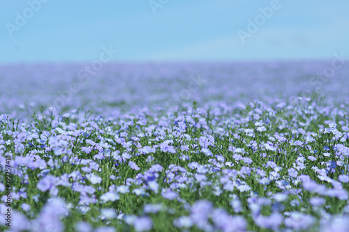 Obraz Flax field blooming, flax agricultural cultivation. - fototapety do salonu