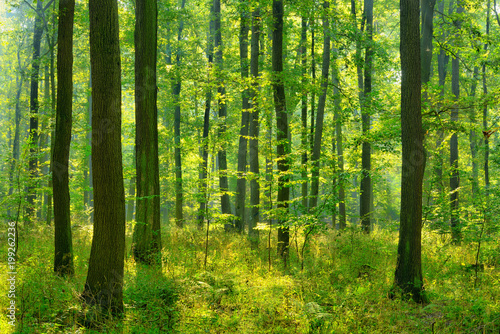 Foto op Canvas Bos Sunny natural forest of oak trees