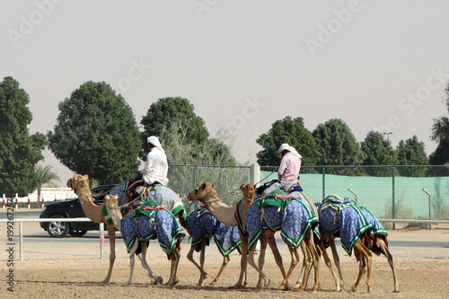 Fotografering  Camel drivers. Dubai. Training camels before the competition.