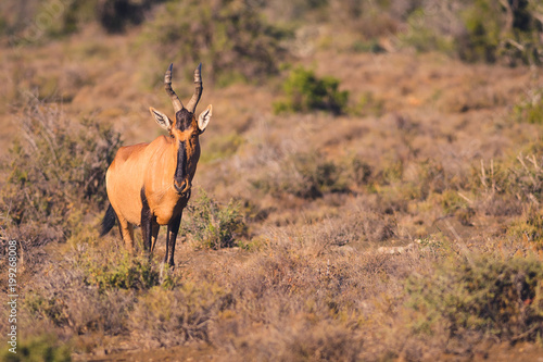 Foto op Canvas Antilope Red hartebeest on safari in South Africa