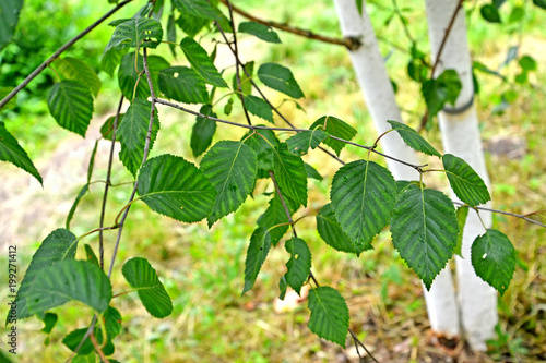 Birch useful (Himalaya) (Betula utilis D.Don), a branch with leaves against the background of a trunk