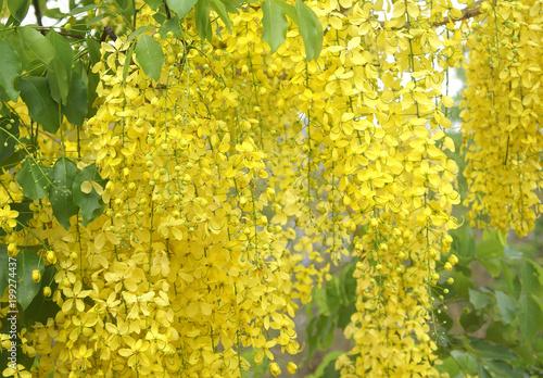 Fotomural flower, yellow, nature, spring, field, plant, green, flowers, summer, blossom, b
