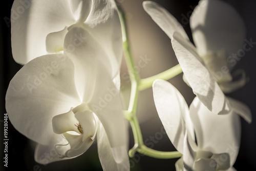 Papiers peints Orchidée orchidée blanche au printemps