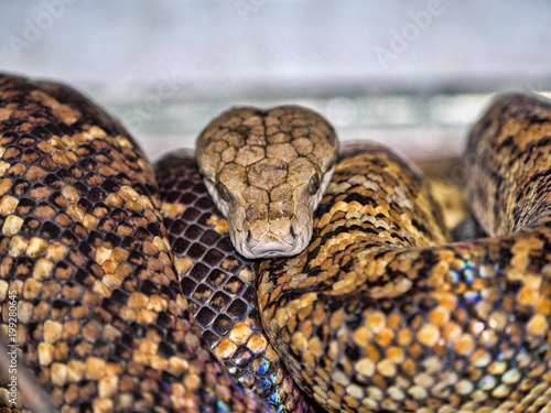Photo Jamaican boa, Epicrates subflavus, is threatened with extinction