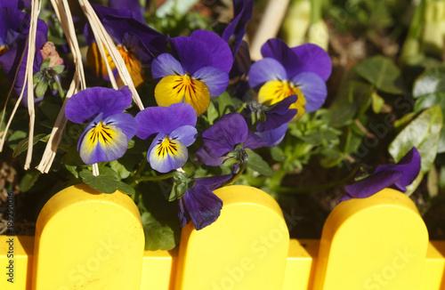 Foto op Canvas Pansies Blaue Stiefmütterchen Blumen