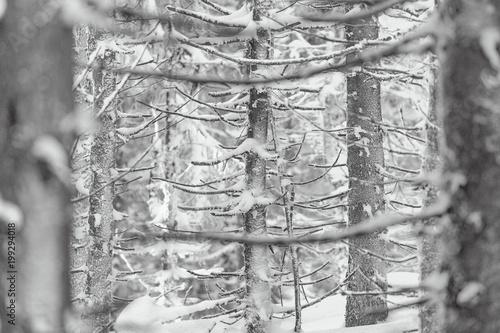 osniezone-galezie-drzew