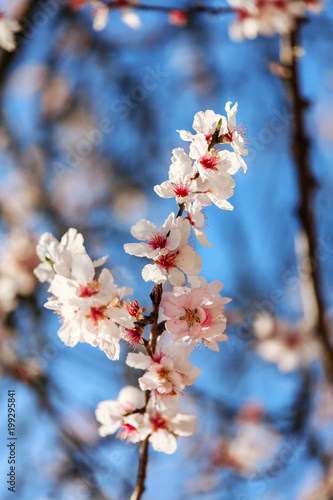 Blossoming Almond Tree плакат