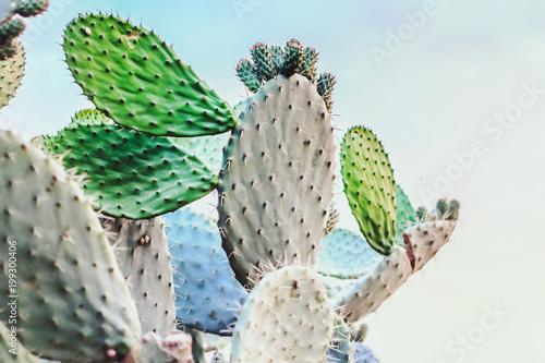 Papiers peints Cactus Opuntia cactus plant outdoor. Beautiful nature