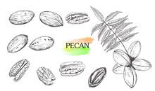 Hand Drawn Pecan Nut Set Isola...