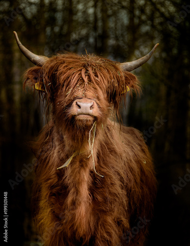 Recess Fitting Highland Cow Schottisches Hochlandrind im Wald