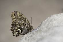 Qwl Butterfly