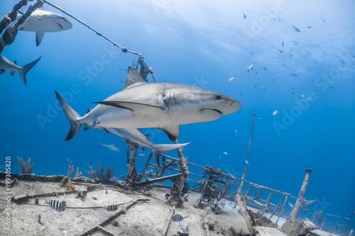 carcharhinus amblyrhynchos grey reef shark