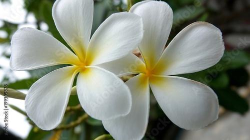 Staande foto Frangipani Frangipani, exotischer Blütenbaum