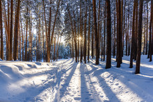 Winter Forest At Sunset With P...