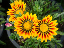Yellow Striped Red Gazania Flo...