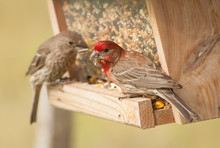 House Finch Couple Eating At A...