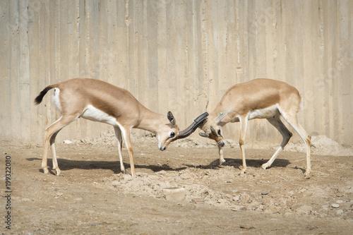 Deurstickers Antilope Lucha de gacela dorcas macho