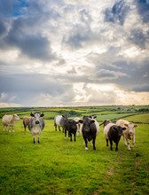 Mix Of Cattle In Beautiful Eng...