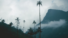Palm Trees In The Fog 6