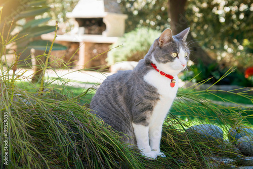 Photo  Domestic Cat with red collar in the garden